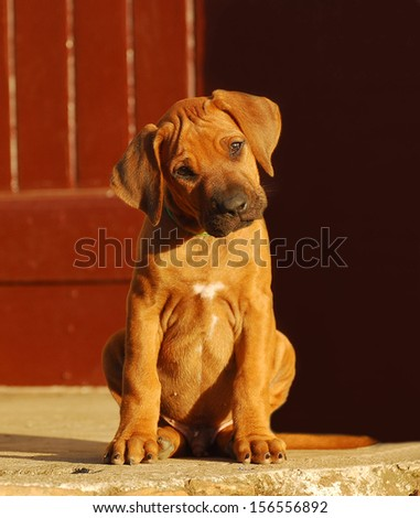 A cute purebred Rhodesian Ridgeback dog puppy with attentive facial expression sitting and staring.
