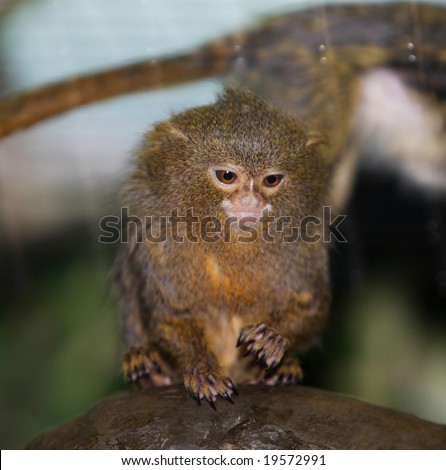 A cute pygmy marmoset sitting on a branch - stock photo