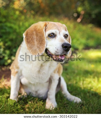 a cute senior beagle looking off in the distance and smiling with her tongue peeking out of her mouth in a park or backyard on fresh green lawn  - stock photo