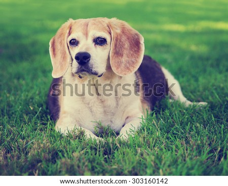 a cute senior beagle looking off in the distance in a park or backyard on fresh green lawn toned with a retro vintage instagram filter effect app or action - stock photo