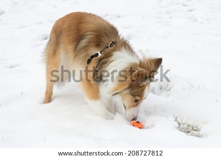 A cute Shetland Sheepdog smells and plays with a ball in the snow