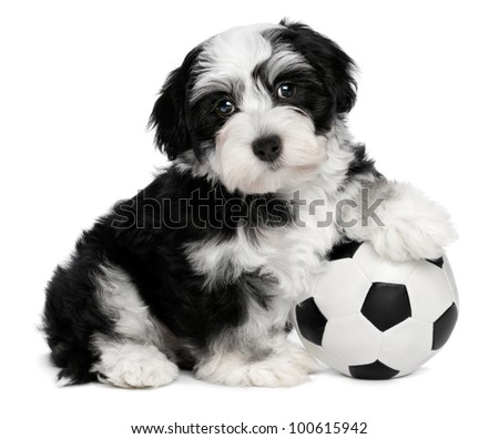 A cute sitting little havanese puppy dog with a soccer ball is looking at the camera, isolated on white background - stock photo