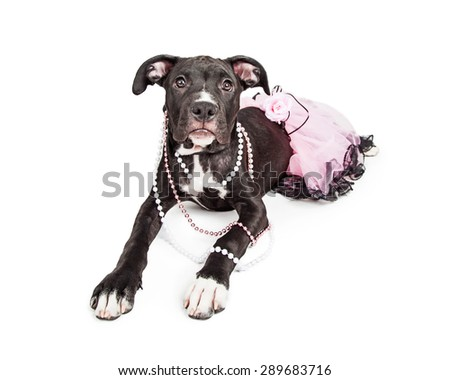 A cute six month old mixed large breed puppy dog laying down wearing a pink tutu and pearl necklaces - stock photo