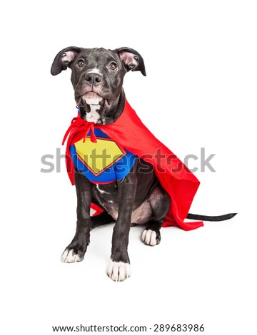 A cute six month old mixed large breed puppy dog wearing a red cape and a vest with room to add your own text onto. - stock photo