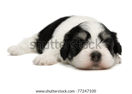 A cute sleeping little spotted havanese puppy dog isolated on white background - stock photo