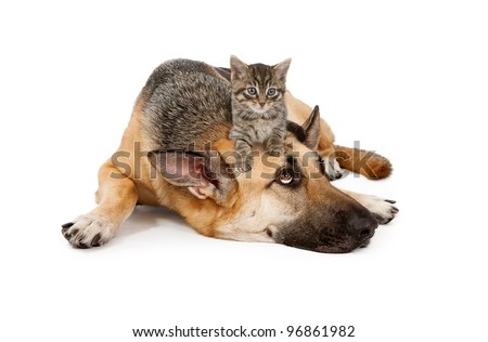 A cute small kitten on the head of a large patient German Shepherd Dog that is laying down against a white backdrop and looking up