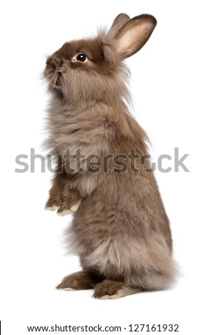 A cute standing chocolate colored lionhead bunny rabbit, isolated on white background - stock photo