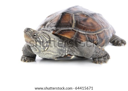 a cute tortoise with white background - stock photo