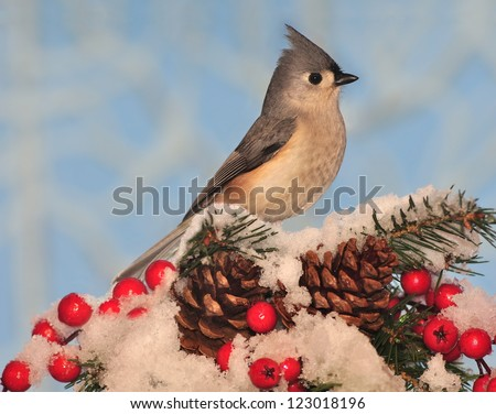 A cute Tufted Titmouse (Baeolophus bicolor) on a snowy spruce branch with pinecones and red berries.