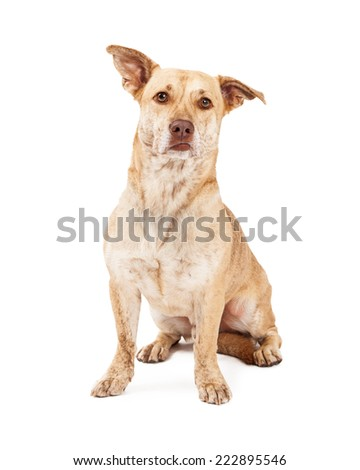 A cute Welsh Corgi and Chihuahua mixed small breed dog sitting and looking forward - stock photo
