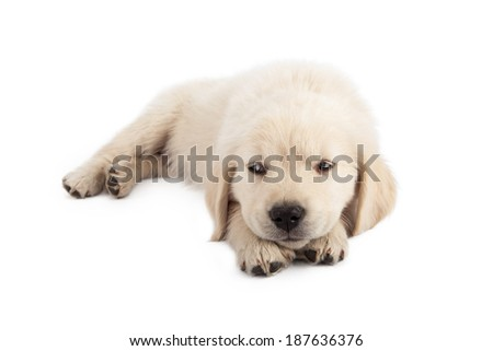 A cute white golden retriever puppy laying down and rolling his eyes to the side with an irritated expression.