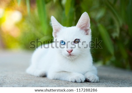 a cute white kitten with different colored eyes - stock photo