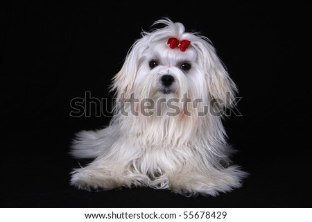 A cute white Maltese dog with red ribbon looking at the camera against a black background. - stock photo