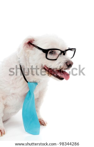 A cute white maltese terrier, wearing a blue tie and reading glasses with white space for copy. - stock photo