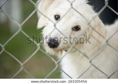A cute white puppy dog is tilting his head curiously and looking through a chain link fence. - stock photo
