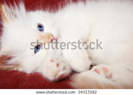 A cute white purring kitten, shot closeup