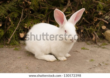 A cute white rabbit sitting