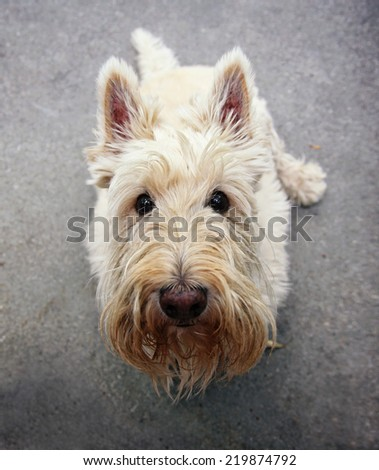 a cute white scotty sitting on the ground looking at the camera - stock photo