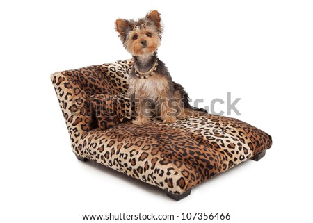 A cute Yorkshire Terrier dog wearing a necklace and bow that is sitting on a designer leopard print chaise lounge bed that is sitting  against a white backdrop - stock photo