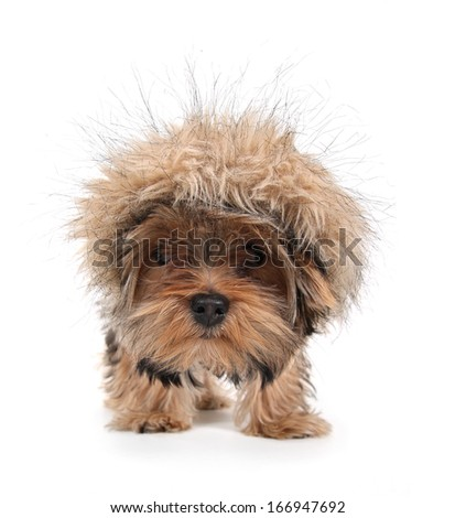 a cute yorkshire terrier on a white background