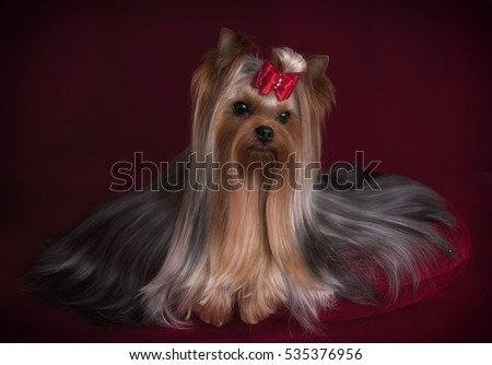 A cute Yorkshire terrier with red bow on a red background