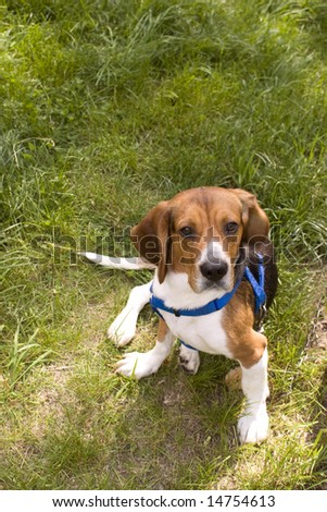 A cute young beagle puppy sitting funny in the grass. - stock photo
