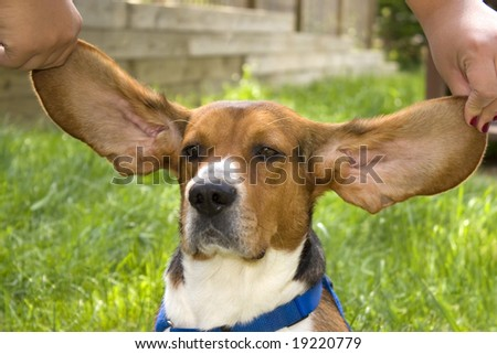 A cute young beagle puppy with huge floppy ears - stock photo