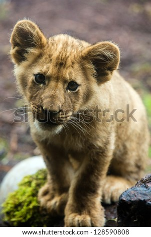A cute young lion cub posing outside