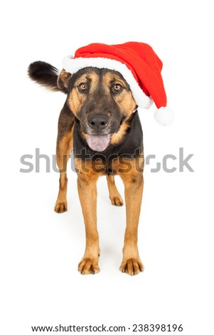 A cute young Shepherd cross dog wearing a red Santa Claus hat