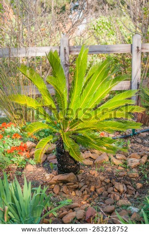 A Cycad in a garden near Sir Lowrys Pass, South Africa