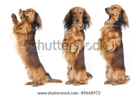 A Dachshund begs for a treat. Studio shot against white background. - stock photo