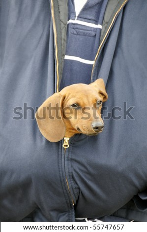 A dachshund head sticking out of a man's coat.
