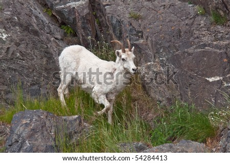 A Dall sheep lamb coming down the hilllside of Turnagain Arm at dusk for a mineral lick. - stock photo