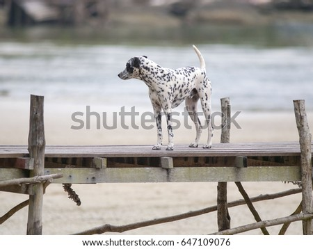 A dalmatian dog stands on a wooden jetty at a resort on Ko Kut island in eastern Thailand