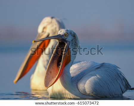 A Dalmatian Pelican (Pelecanus crispus) on the surface of Kerkini lake, northern Greece