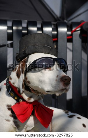 A Dalmation dog sitting with sun glasses - stock photo