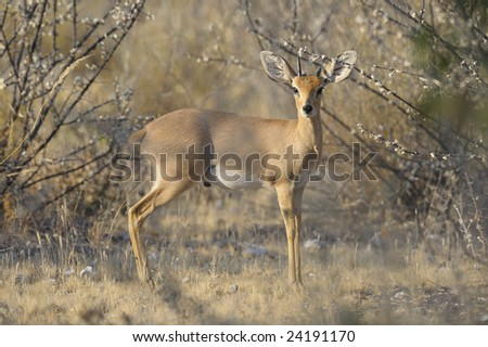 A damara  Dik Dik - stock photo