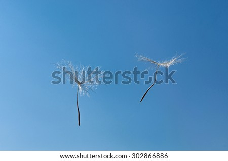 A Dandelion blowing seeds in the wind. specific season - stock photo