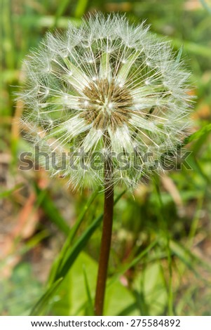 a dandelion in the middle of a meadow   - stock photo