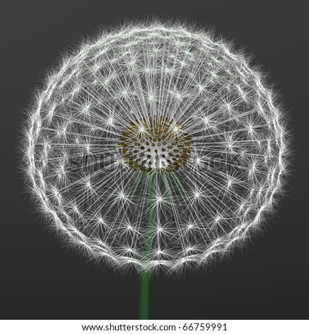 a dandelion on gray background - stock photo