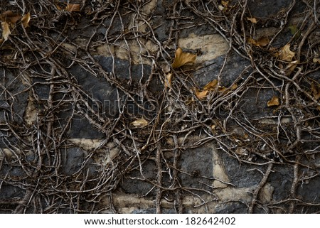 A dark and moody close up of a dead ivy plant clinging to an old bluestone wall