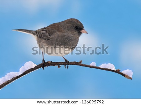 A Dark- eyed Junco (Junco hyemalis) on a snowy branch with blue sky in the background. - stock photo