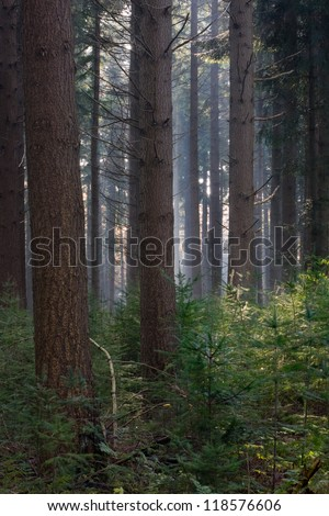 A dark forest of tall Douglas fir (also called Oregon pine, Pseudotsuga menziesii) and seedlings on an autumn day, sunlight in the distance. - stock photo