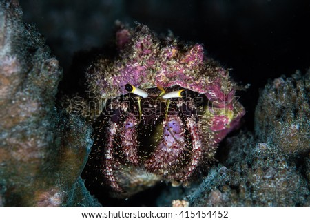 A Dark Knee hermit crab (Dardanus lagopodes) crawls on a coral reef in the tropical Pacific Ocean.