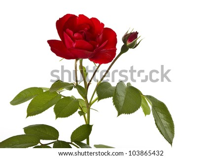 A dark red climbing rose on a white background free. - stock photo