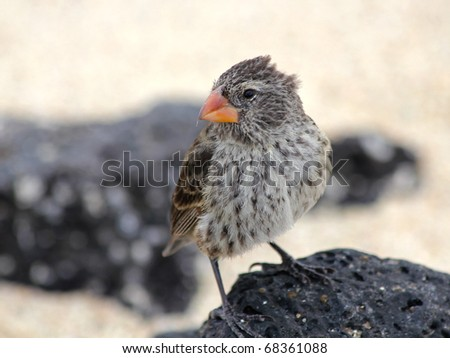 A Darwin's Finch (also known as the Galapagos Finch or as Geospizinae) in the Galapagos Islands