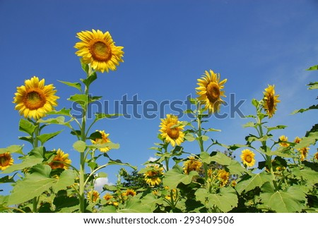 A Day at the Sunflower Fields