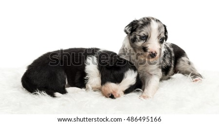 A 21 day old crossbreed between an australian shepherd and a border collie sleeping while the other looks around, on white fur