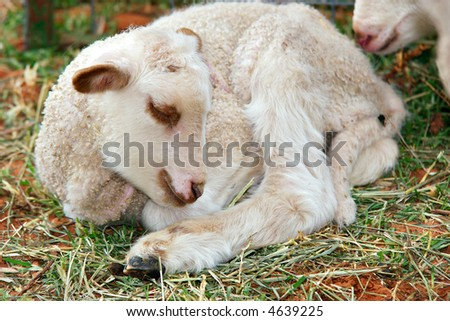 a day old lamb lays sleeping on the grass - stock photo