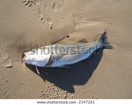 A dead fish on the beach